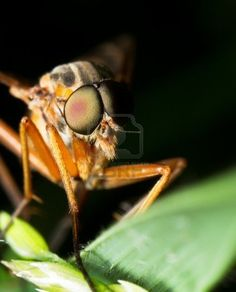 compound eyes of fly