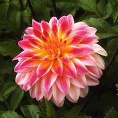 Dahlia décoratif 'Carmen®' Voici un dahlia très décoratif : avec sa touche rose sur des pétals blancs au coeur jaune... le dahlia Carmen chante et vous enchante !