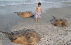 Rumors of an alien creature killed in Chelyabinsk Russia spread all over the news. It was no alien but a horseshoe crab, a prehistoric living fossil. Underwater Creatures, Ocean Creatures, Crabs On The Beach, Stingray Fish, Living Fossil, Horseshoe Crab, Ocean Life, Tasmania, Marine Life