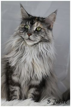 """Elphinstone """"Irish Kiss"""". 3 years old. http://www.mainecoonguide.com/kittens/"""