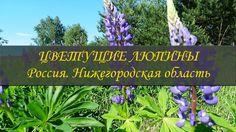 Цветущие люпины ❦ Люпиновые поля в средней полосе России