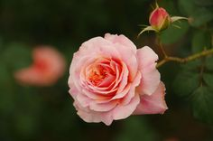 #flowers and plants #pink #rose