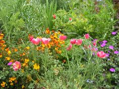 California Poppy 'Rose Chiffon'