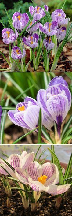 100Pcs Crocus Vernus Dutch Saffron Seed Potted Ornamental Plants Garden Bonsai