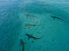 Reef Sharks at Heron Island, Australia - Met a few of these guys as well!