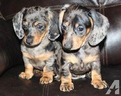 Dapple Dachshund Puppies For Sale In Washington Zoe Fans Blog Dapple Dachshund Puppy Dachshund Puppies Dapple Dachshund