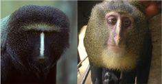 El lesula, una nueva especie de mono africano.