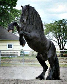 Fresian!! If I got a horse this is the one I would get :)