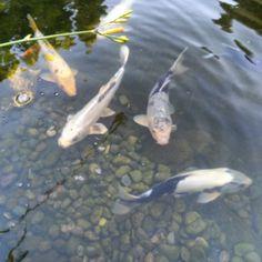 « #pond#fishpond#koination#koipond#pondmaintenance#cleanpond#pondservice#pondnation#pet#pets#koifish#fishponds#instapet#instakoi#instafish »