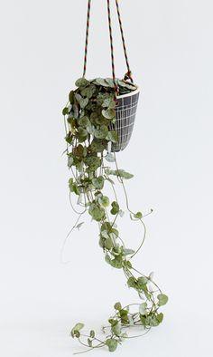 plante retombante photo plante d 39 int rieur tombante fleurs roses plantes int rieures. Black Bedroom Furniture Sets. Home Design Ideas