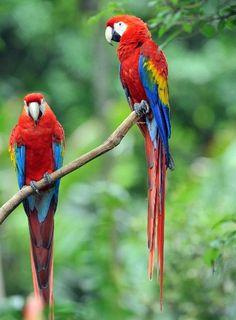 Es nativa de América del Sur y vive en países como Brasil, Venezuela, Perú, Bolivia, Honduras y México. Habita cerca de ríos en las selvas t...
