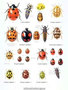 Ladybug Clipart animal mimicry 1 - 236 X 315 Beautiful Bugs, Amazing Nature, Garden Bugs, Insect Art, Beneficial Insects, Bugs And Insects, Botanical Prints, Butterfly, Clip Art