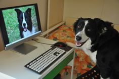finding love dog online #border collie #love