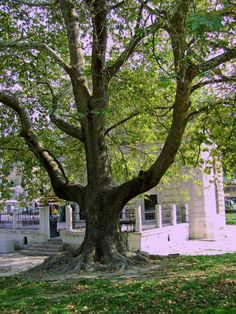 Old tree & mosque in the centre of the city   by Neolk in Panoramio