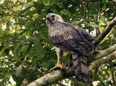959_harpy_eagle_harpia_harpyja_amazon_manu_lodge_peru_20091110_4_1200.jpg (1000×742)