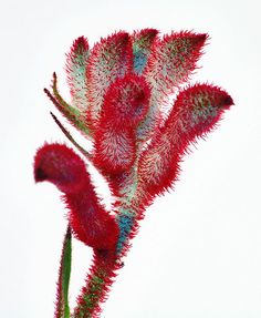 Originating from Australia, the kangaroo paw has become a favorite among florists around the world. Australian Wildflowers, Australian Native Flowers, Australian Plants, Rare Plants, Exotic Plants, Growing Flowers, Planting Flowers, Kangaroo Paw Plant, Alpine Plants