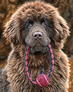 Newfoundland, commonly known as the gentle giant or the nanny dog is a breed from Canada. Cute Puppies, Cute Dogs, Dogs And Puppies, Corgi Puppies, Doggies, Big Dogs, I Love Dogs, Giant Dogs, Beautiful Dogs