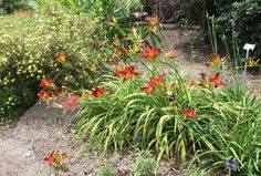 Buy daylily Hemerocallis 'Stafford': Delivery by Crocus