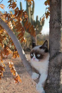 Grumpy Cat in a tree.