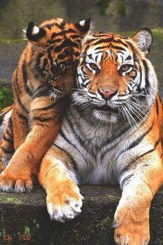 Tigers ze zijn wilde dieren.