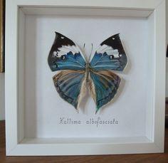 Vrai-faux papillon Kallima peint à la main piqué sur un bouchon
