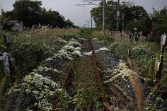 Wild flowers and other vegetation grow over a now-disused railway line in the evacuated town of Namie, close to the damaged Fukishima nuclear plant, following the earthquake and tsunami off Japan's coast on 11 March 2011.