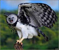 Harpia Harpy Eagle (Harpia harpyja) Photo taken in the Parque Zoobotânico Getúlio Vargas - Salvador - Bahia - Brasil 2005 Beautiful Birds, Animals Beautiful, Cute Animals, All Birds, Birds Of Prey, Rapace Diurne, Amazon Rainforest Animals, Largest Bird Of Prey, Harpy Eagle