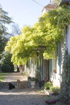 The wisteria above the entrance.