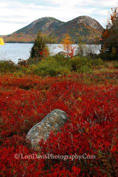 Autumn Blueberry Bushes, Jordan Pond, Acadia National Park, Maine | Lori A Davis