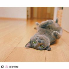 #Repost @picneko with @repostapp ・・・ @rien_gai さんのネコちゃんをご紹介致しております Introducing a lovely cats🐈!Please 'Like' for this picture if you think its cute! #猫#ネコ#猫好き#ネコモ#読モ猫#モデル#ニャンスタグラマー#ニャンとも#猫愛#愛猫#読者モデル#猫グッズ#ちゅらねこ#gatosdeinstagram#instagato#catloversclub#cat_of_instagram#catsofworld#catstocker#고양이를사랑#귀여운고양이#cutecat#gato#고양이#kawaii#kater