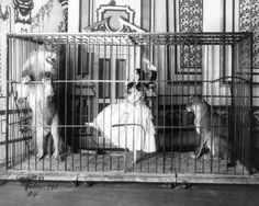 Caged lions and performer.