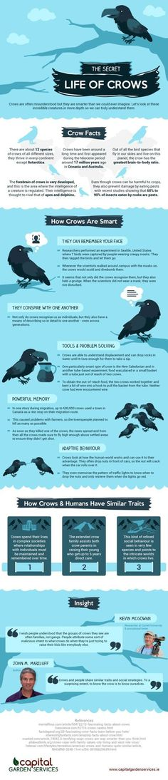 The Secret Life of Crows: an Infographic
