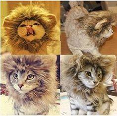 Oroszlány sörény kifejezetten cicáknak!