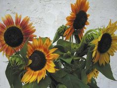 Inca Jewels Sunflowers 2013 seeds