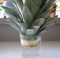 regrow a pineapple  Root in water  Suspend the bottom of the pineapple crown in a glass of water. Change the water every few days.  Roots should emerge in 2-4 weeks .  Plant the rooted crown in well drained soil and keep the soil slightly moist  (not wet).  Move the crown to a sunny, warm (75F)  humid location with night temperatures above 65F degrees.  You should see new  growth in about 2 months. In drier conditions, increase humidity by misting an...