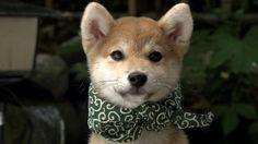 唐草模様の風呂敷をまとった柴犬 shiba inu wearing an arabesque scarf