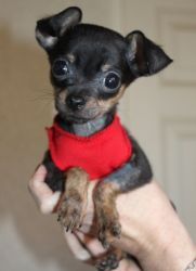 Black Bear is an adoptable Miniature Pinscher Dog in Bakersfield, CA. Black Bear is a very sweet and spunky 16 week old, 2lb Min Pin/Chi X pup who was rescued as a 5 week old pup along with his mom (K...
