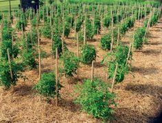 Guida alla coltivazione pomodoro: consigli, tecniche patologie e malattie su come coltivare pomodori nell'orto o in vaso