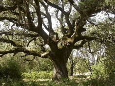Quercus ilex - Wikipedia, la enciclopedia libre