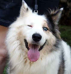 Nibbles - Available SOON is an adoptable Australian Shepherd Dog in Douglasville, GA. Nibbles is a 2 year old male double merle available for adoption soon in Douglasville, Georgia. He is deaf and vis...
