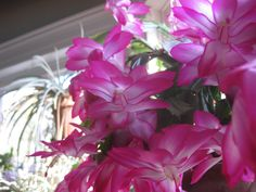 "November Brilliance: The ""Thanksgiving"" Cactus (Schlumbergera truncate) 