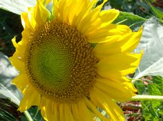 Second sunflower