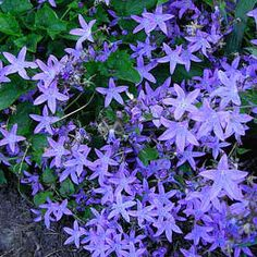 """Campanula Blue Waterfall  ---  Lovely blue-lavender flowers with heavy bloom in late May & June, some bloom thru Aug. Does amazingly well in high to mid shade & slightly moist to dry soil. Cascading habit, good on a wall, along a hillside, or in containers. 8-10"""" high by 12-18"""" wide, spreads well."""