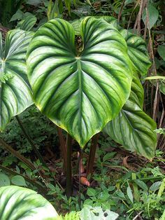 Philodendron plowmanii How to water feed propagate grow philodendron plant Weird Plants, Leafy Plants, Unusual Plants, Rare Plants, Exotic Plants, Cool Plants, Indoor Plants, Tropical Garden, Tropical Plants