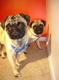 Just About Hot The Wall - http://www.iluvallpugs.com/just-about-hot-the-wall/