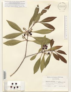 Osmanthus_americanus,Resources for Botanical Sketchbooks, , Resources for Art Students at CAPI::: Create Art Portfolio Ideas milliande.com, Art School Portfolio Work, , Botanical, Flowers, Plants, Leaves,Stem Seed, Sketching, Herbarium