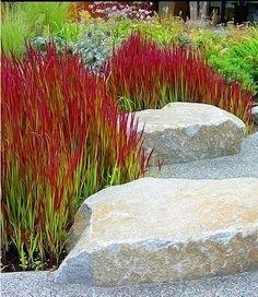 """Ziergras """"Red Baron"""",3 Pflanzen im Mein Schöner Garten Shop"""