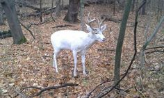 Do you agree with this passerby's decision?  READ: Concealed Carry Permit Holder Dispatches Car-Hit Albino Buck-> http://community.deergear.com/the-hunt/concealed-carry-permit-holder-dispatches-car-hit-albino-buck/