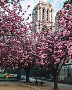 Cherry blossom around Notre Dame in Paris, France. Most beautiful cherry blossom images from Instagram | Fab Fashion Fix. #nature #photography #travel #japan #cherry #spring #cherryblossom #springtime #fabfashionfix #france #paris #parisian #notredame