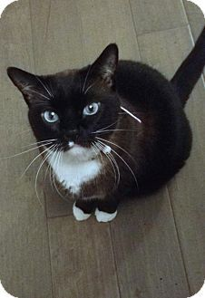 HILLSBORO, OR - Snowshoe. Meet Sasha - Offered by Owner  Friendly Adult, a cat for adoption. http://www.adoptapet.com/pet/14952317-hillsboro-oregon-cat